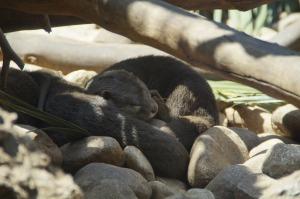 otters-2434082_1920