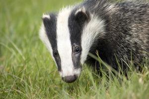 badger-2030975_1920