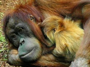 orangutan-498533_1920